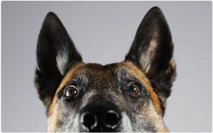 Schäferhund als Wachhund